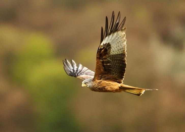 A hawk flying.