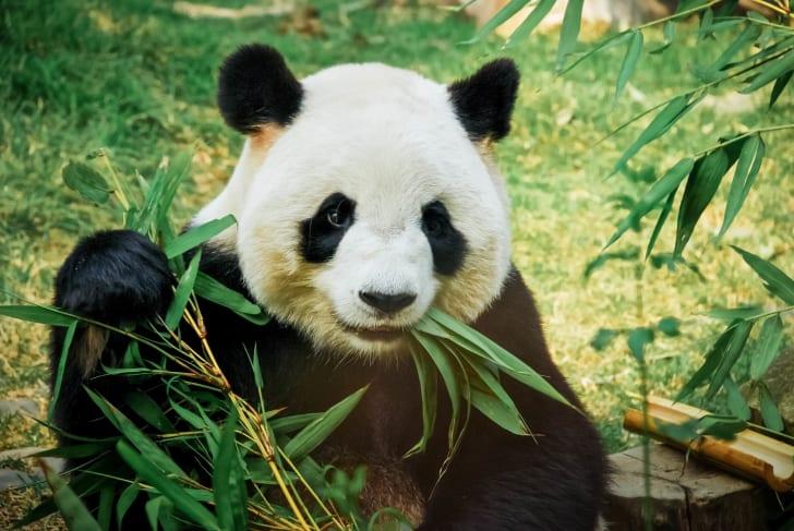 A panda eating bamboo.