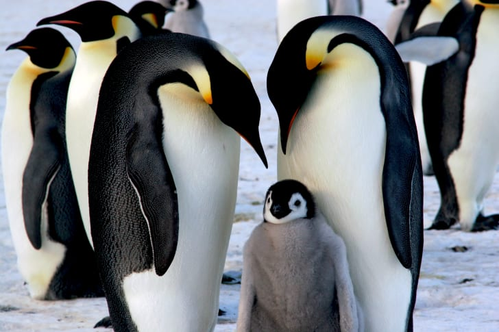 Two penguins with their baby.