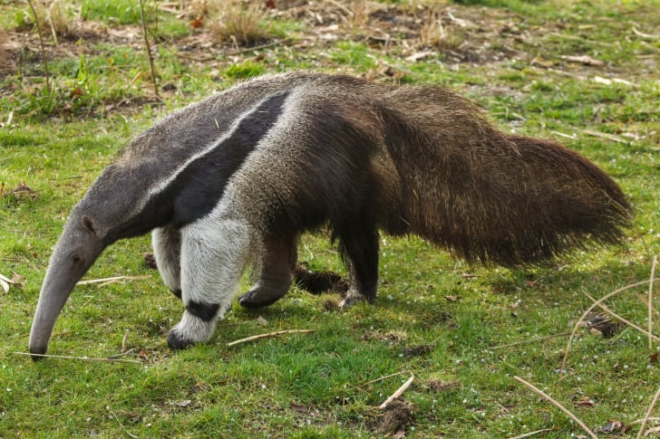 An anteater walking around.
