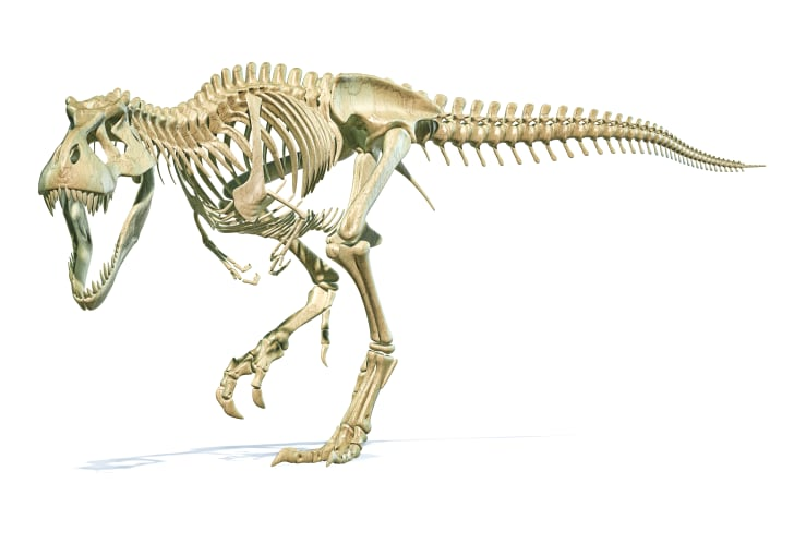 A skeleton of a T-Rex.