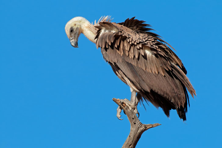 A vulture sitting in a tree, they tend to no where animals go to die.