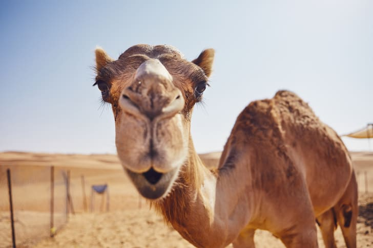 A curious camel looking in the camera.