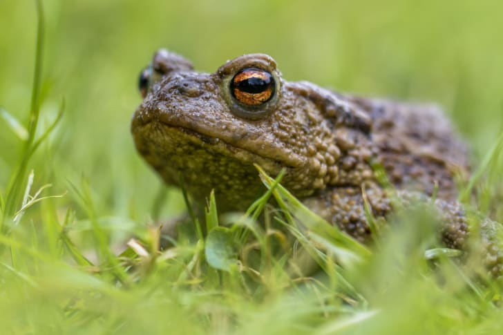 A toad hanging out in the grass.