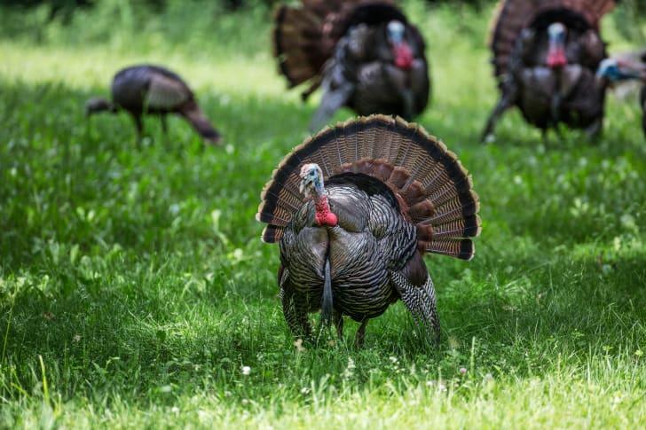 A group of turkeys in a field.