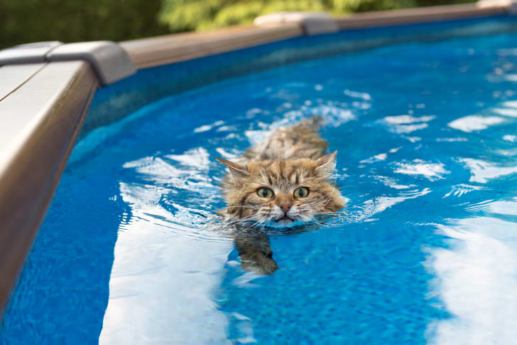 A cat going for a swim in a pool.