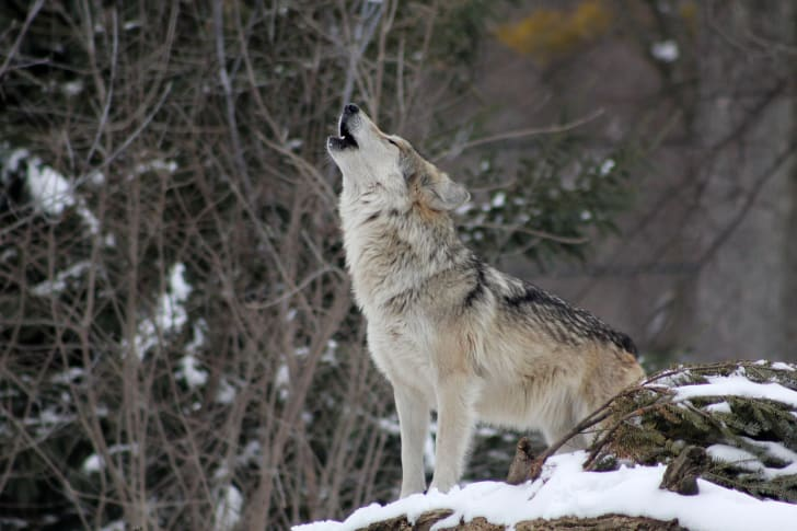 A wolf howling in the woods.
