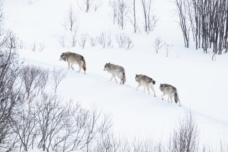 A wolf pack traveling together.