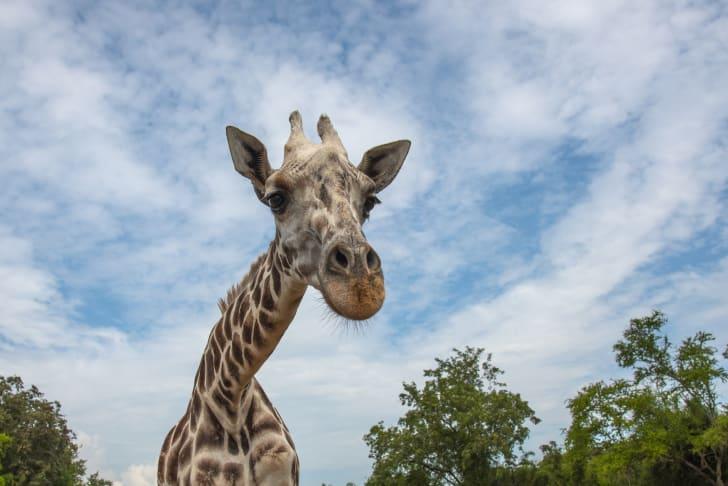 A giraffe looking into the camera.