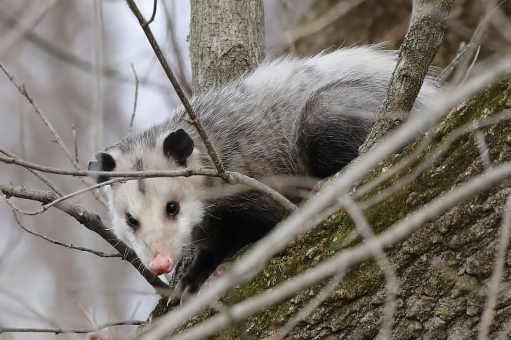 An opossum hanging out in a tree.