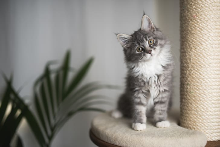 A gray striped kitten sitting on a cat tower