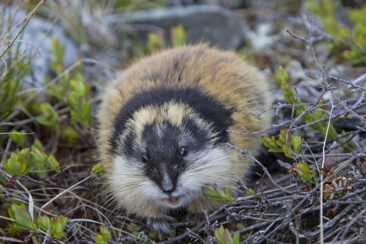 An absolutely adorable lemming.