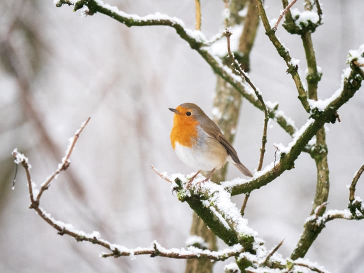 European robin in a snowy tree