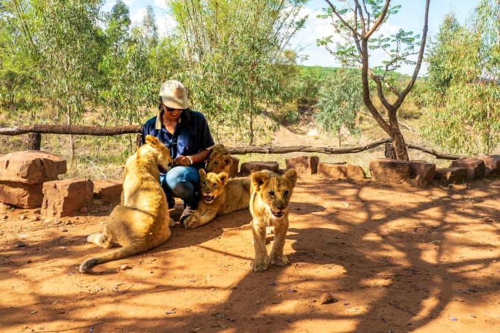 Female park ranger with lions