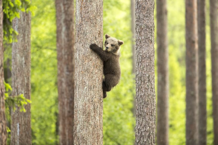 Brown bear cub climbing a tree