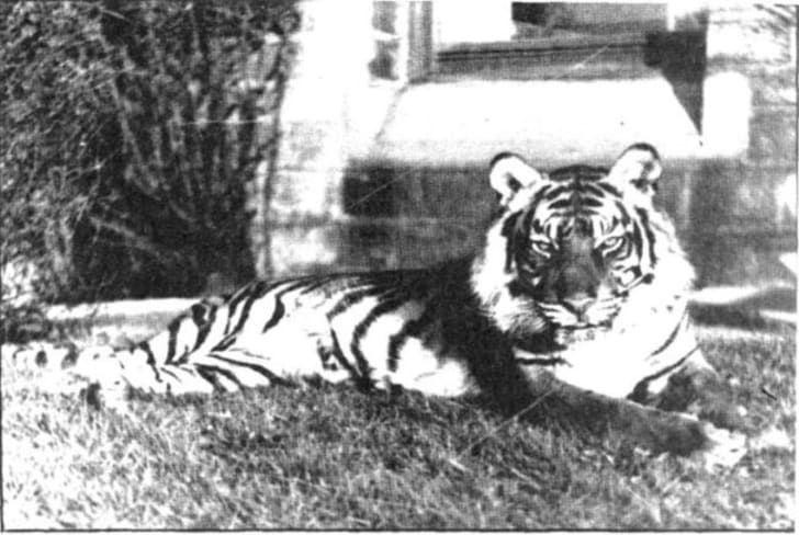 Fenella the tiger on a lawn