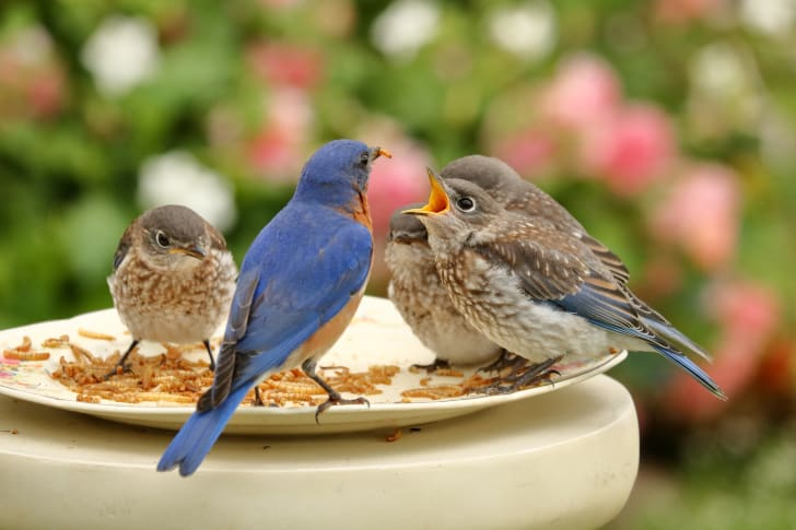 Bluebirds at a bird feeder