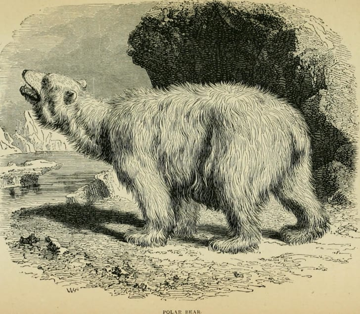 Historic sketch of a polar bear