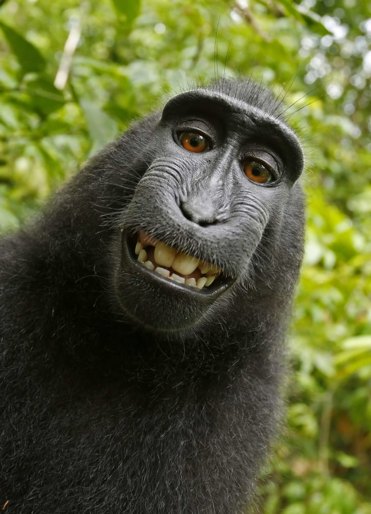 Self-portrait of a female Celebes crested macaque.