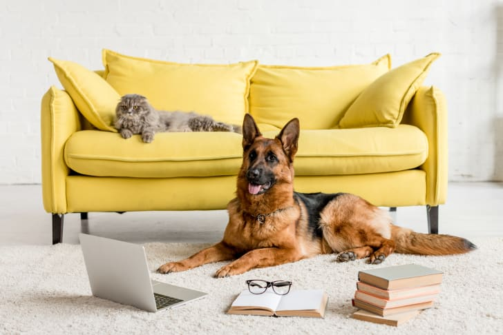 German Shepherd lying on floor with laptop and books in and gray cat lying on couch