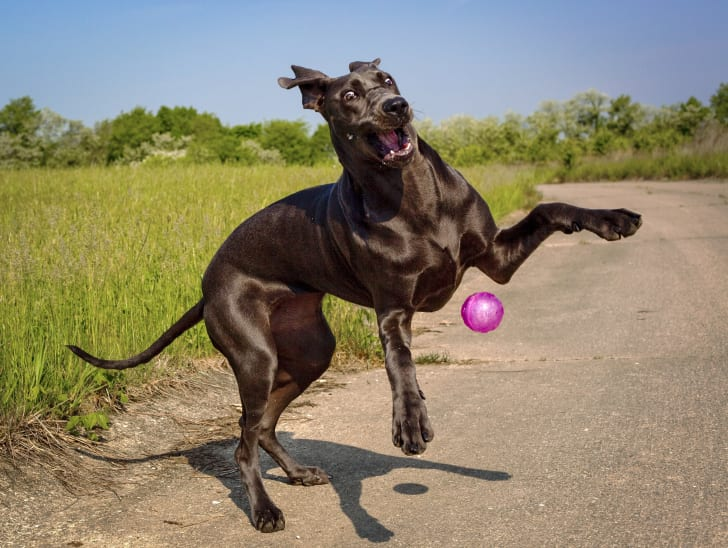 A silly blue great Dane puppy plays with her pink ball