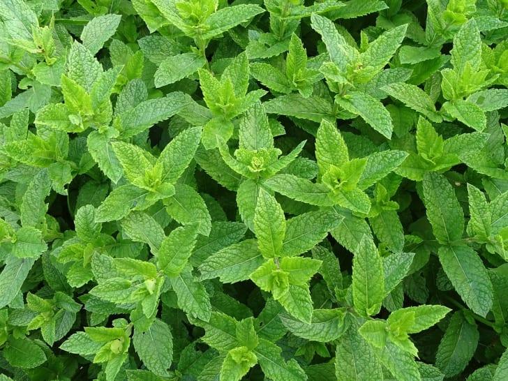 An abundance of mint growing outdoors