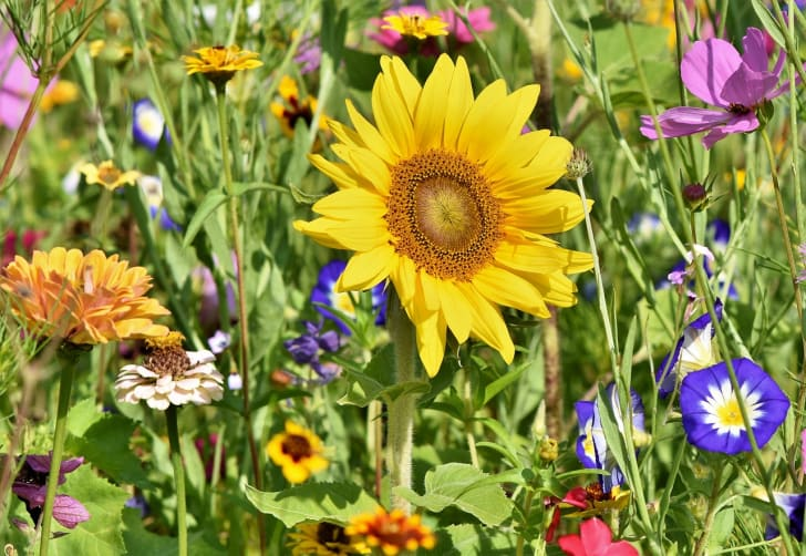 A large sunflower amid a group of smaller flowers