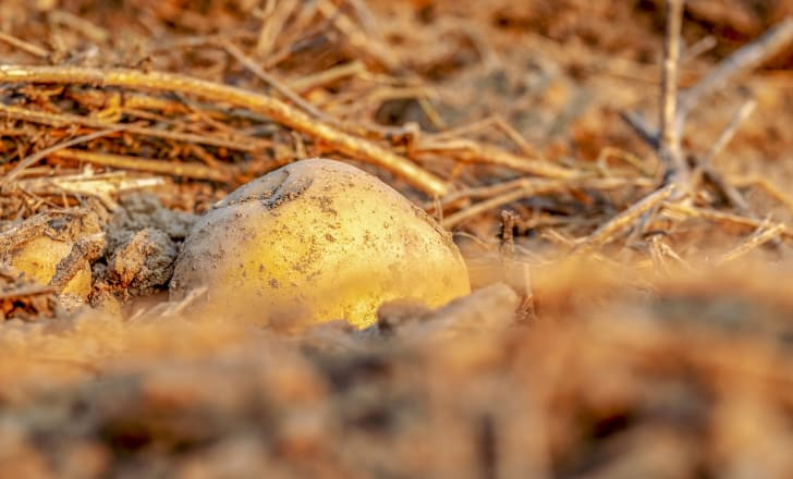 A single potato grows from the dirt