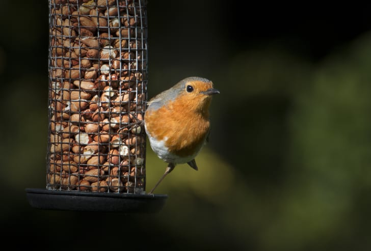 European robin on a bird feeder