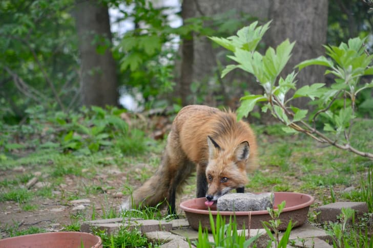 A red fox drinks from a water bowl in a backyard