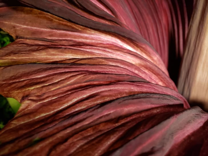 barnard college corpse flower closeup