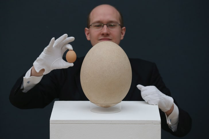 elephant bird egg next to a chicken egg