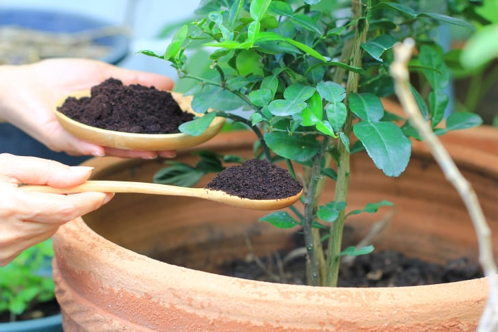 coffee grounds as plant fertilizer