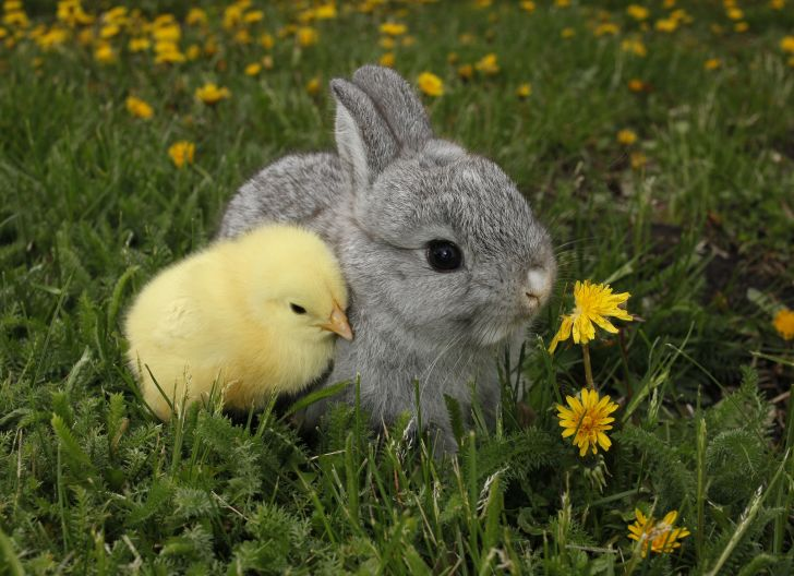 baby chick and bunny cuddling in a field