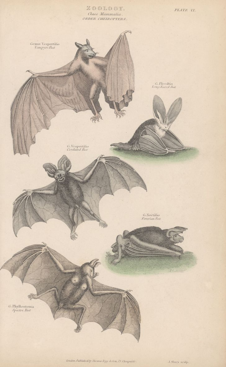 Various bats of the order Chiroptera in a circa-1800 engraving by J. Shury