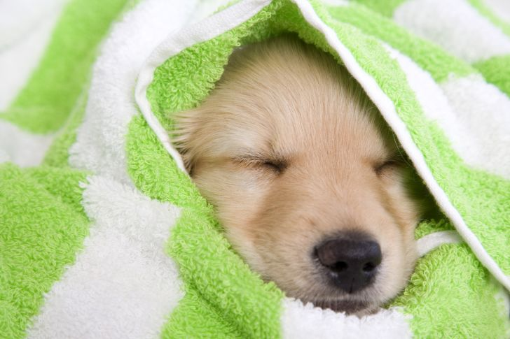 A golden retriever puppy wrapped in a green and white towel