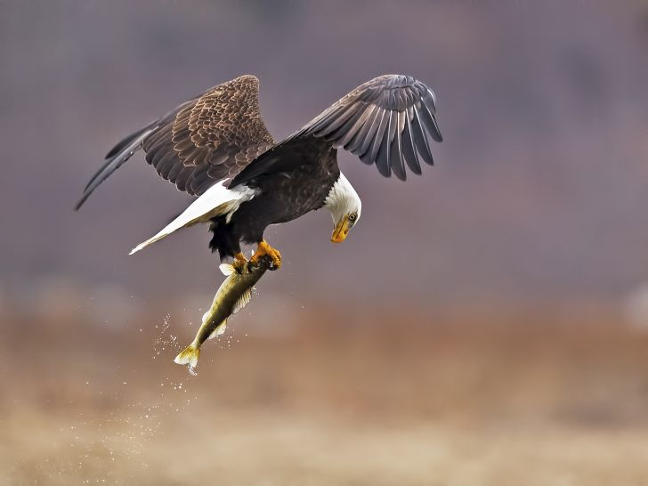 A bald eagle carries a fish off in its talons.