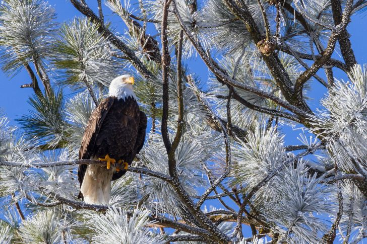 A bald eagle sits in a snowy tree.