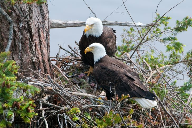 Two bald eagles in their large nest.