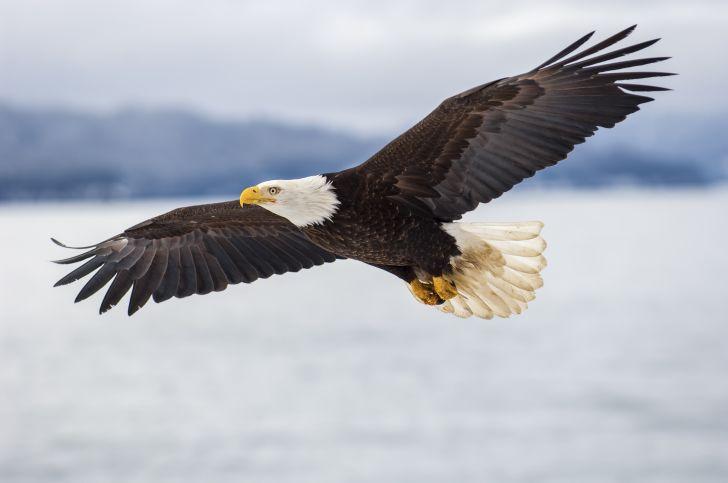 A bald eagle flies across the water.