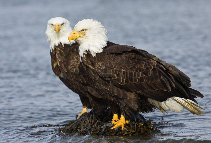 Two bald eagles sitting on a rock.