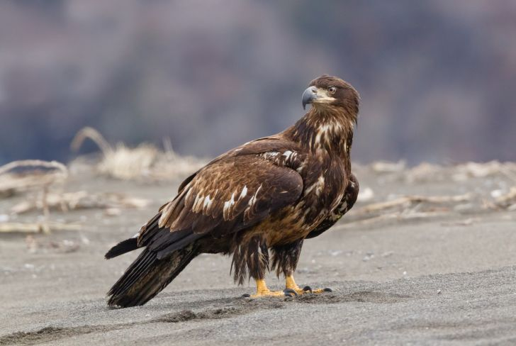 A young bald eagle with a brown head on a beach.