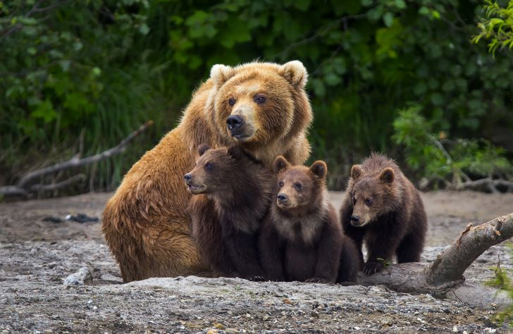 a family of brown bears