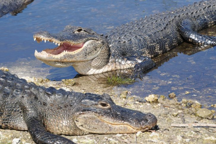 two american alligators in the water