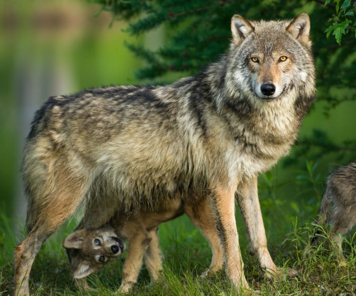 gray wolf with a cub