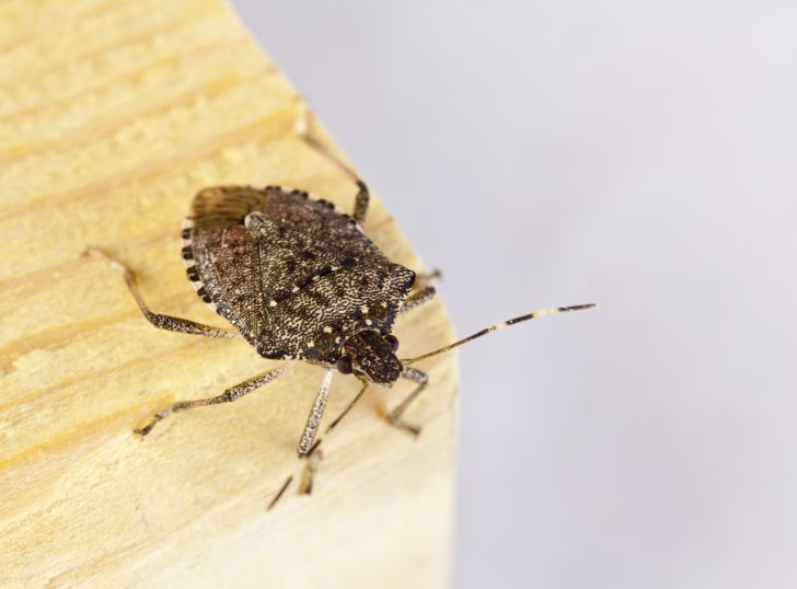 A stink bug on a piece of wood.