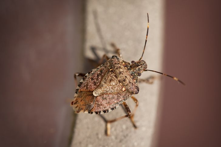 A stink bug