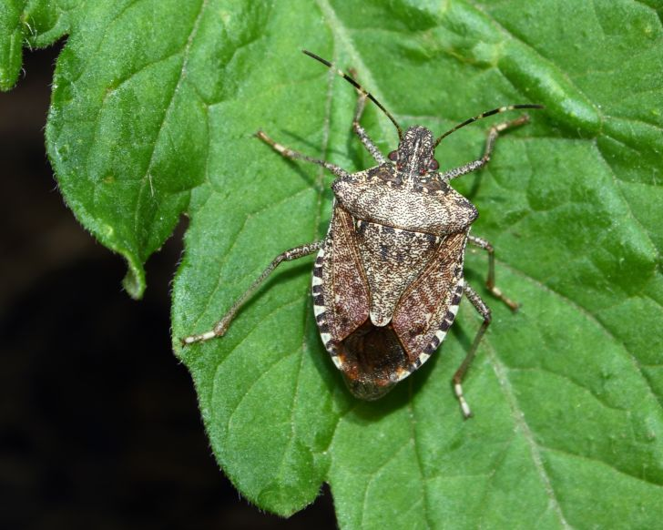 Brown marmorated stink bug on a plant.