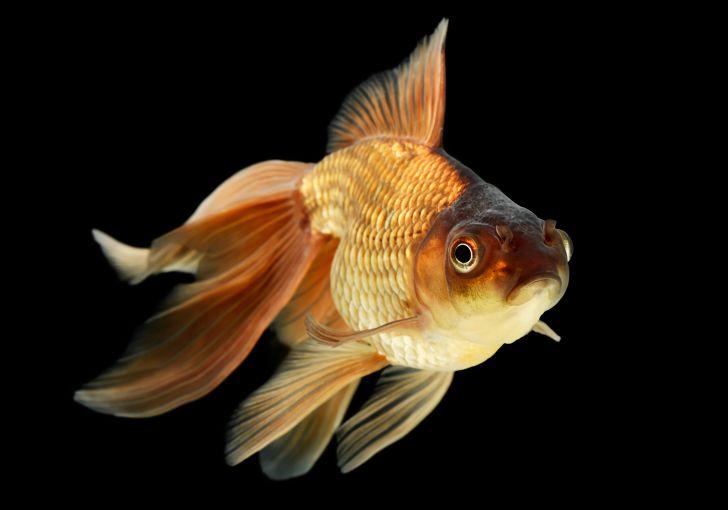 A veiltail goldfish.