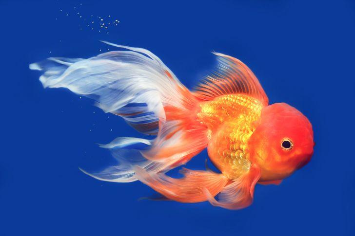 A lionhead goldfish.
